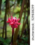 red ginger lily  tropical... | Shutterstock . vector #529838299