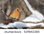 Northern Cardinal In Canadian...
