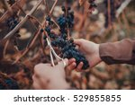 girl cuts a ripe bunch of grapes | Shutterstock . vector #529855855