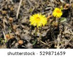 Coltsfoot Flower  Tussilago...