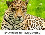 Portrait Of A Jaguar. Panthera...