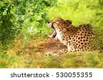 Cheetah Lying In Wood With...