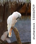 White Cockatoo Bird  Salmon...