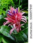 Small photo of Side Aechmea fasciata flower plants in Suanluang RAMA IX,Thailand