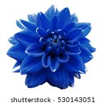 Flower blue  motley dahlia....