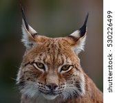 siberian lynx  head shot   Shutterstock . vector #530226499