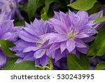 clematis 'denny's double' | Shutterstock . vector #530243995