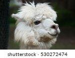 llama  lama glama . domestic... | Shutterstock . vector #530272474