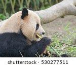 giant panda  ailuropoda... | Shutterstock . vector #530277511