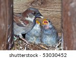 Mother Sparrow Feeds Her Young