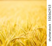 field of wheat. plant  nature ... | Shutterstock . vector #530362915