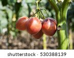 A Plant Of Tomato Tree In A...