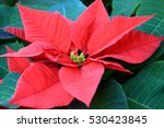 Poinsettia Flower Garden