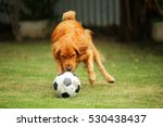 Golden Retriever Playing With...
