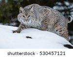 Bobcat Stalking In Snow