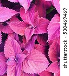 Small photo of Closeup of red coleus leaves in a summer garden.