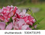 green  praying mantis on pink... | Shutterstock . vector #530473195