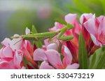 green  praying mantis on pink... | Shutterstock . vector #530473219