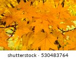yellow maple leaves in autumn ... | Shutterstock . vector #530483764