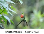 "Small photo of ""Aglaiocercus coelistis"", ""Violet-tailed Sylph"""