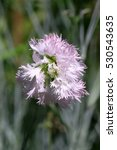 Small photo of Carnation pink on a green grassy background in sunny day. Caryophyllaceae family. Dianthus plumarius. Carnation Hungarian. Background vegetable flower it is vertically.