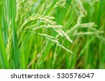 Rice Seed Ripe And Green Leaves ...