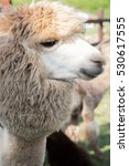 Small photo of The wonderful alpaca portrait
