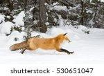 Red Fox  Vulpes Vulpes  In Pin...