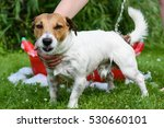 wet dog with funny tongue... | Shutterstock . vector #530660101