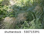 Miscanthus Sinensis Ornamental...