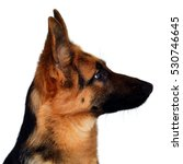 Stock photo a beautiful muzzle is the german shepherd isolated on a white background fluffy dog close up of 530746645