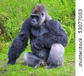 Gorilla Stares At The Camera