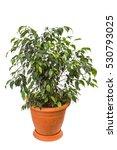 Ficus Benjamina Isolated On...