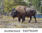 American Bison  Bison Bison  A...