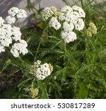 Herb Achillea Millefolium ...