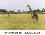Giraffe In Savanna Grassland...