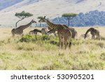 Pack Of Giraffe Snacking On Th...