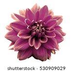 flower purple motley dahlia.... | Shutterstock . vector #530909029