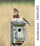 Eastern Bluebirds On Nesting Box