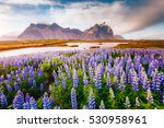 majestic lupine flowers glowing ... | Shutterstock . vector #530958961