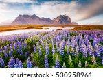 majestic lupine flowers glowing ... | Shutterstock . vector #530958961