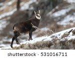 Small photo of Alpine chamois