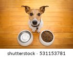 Hungry  Jack Russell  Dog...