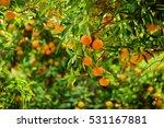 tangerine sunny garden with... | Shutterstock . vector #531167881