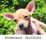 chihuahua puppy cute brown... | Shutterstock . vector #531221101