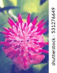 Small photo of background nature Flower Aechmea fasciata Pink