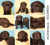 purebred chocolate labrador... | Shutterstock . vector #53139853