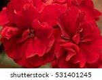 Flowers Red Geranium Close Up