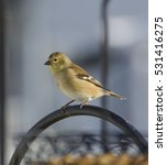 Small photo of An American Goldfinch (Spinus tristis) perched on a shepherd's hook in Taneytown Carroll County, Maryland, USA. Shown in non-breeding plumage.