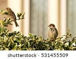 sparrow on a bush b passeridae... | Shutterstock . vector #531455509